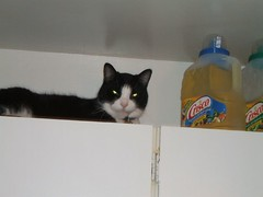 On top of the kitchen cupboards (Hans Last) Tags: cats pets animals kitties