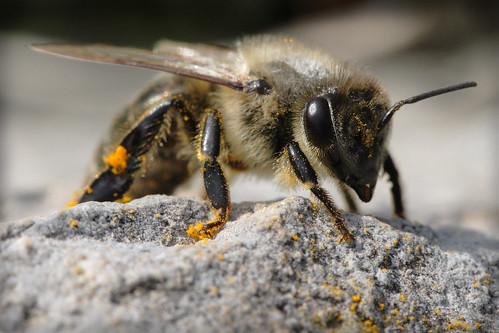 Пчела са поленом (аутор macropoulos)