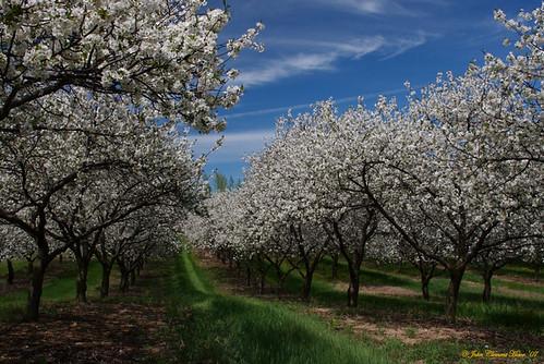 Cherry Blossom Time, Benzie County Michigan