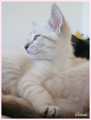 Kiwi - adoptada . adopted (selenis) Tags: pet baby portugal animal cat feline chat lisboa sintra kitty beb gato felino kiwi adoption adopo cc400 bestofcats impressedbeauty petscommunity pet100