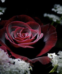 Crimson Rose (shinichiro*) Tags: flower macro japan nikon order searchthebest led getty d200 crazyshin 2007 rm onblack inmyroom naturesfinest flowerotica 105mmmicro anawesomeshot wowiekazowie blackribbonbeauty 2009separt 2009separt01 90095165 order500 order20101106