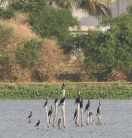 Cormorants at Madivala Lake May 11 07