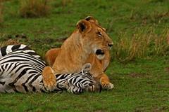 MINE !!! (Picture Taker 2) Tags: africa cats nature beautiful animals outdoors colorful pretty native wildlife lion bigcat zebra wilderness plains predator upclose lioness exciting wildanimals africaanimals masimarakenya
