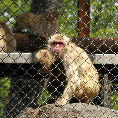 Macaque #2