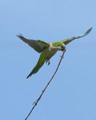 "Monk Parakeet by Marty Jones (Marty Jones ""BIRDS OF INDIANA"") Tags: county lake jones nest indiana monk highland parakeet marty ias"