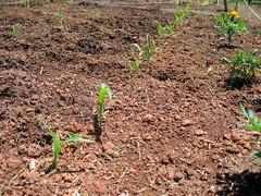 corn_row_5_2007
