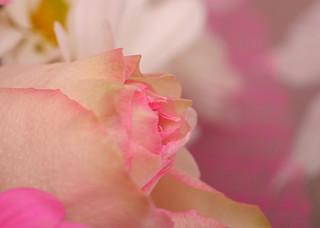 Roses Roses Pink Roses 4230