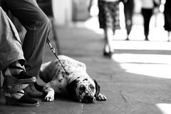 Prospettiva Animale (Knrad) Tags: dog cane torino sleep ground tired rest stress turin setter elliotterwitt stanco viapo mimancherlafermatadiviarossiniperil18viaposempreunafucinadisoggettiperfotografare corradogiulietti