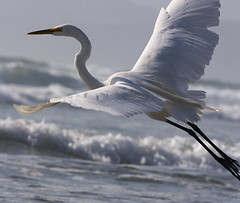 great-egret-morro-strand_l_cs3 - by mikebaird