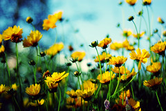 A patch of gold (cindyloughridge) Tags: flowers yellow gold bokeh nikond70s nikkor 50mmf18d bokehwhores fiddywhores idrivebythispatchofflowersdaily andfinallyhadtopullovertocapturetheirbeauty exploreinterestingness30 levelandtap