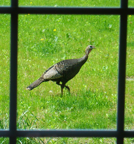 Wild turkey at the bird feeder