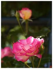 Rose 070520 #05