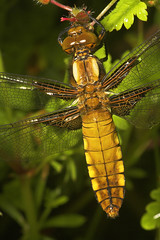 "Broad-Bodied Chaser (Libellula depre(11) • <a style=""font-size:0.8em;"" href=""http://www.flickr.com/photos/57024565@N00/506306222/"" target=""_blank"">View on Flickr</a>"