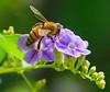 Look! (olvwu | 莫方) Tags: usa flower macro ga georgia purple bee savannah honeybee purpleflower naturesfinest jungpangwu oliverwu oliverjpwu flickrexplore olvwu jungpang 莫方 吳榮邦