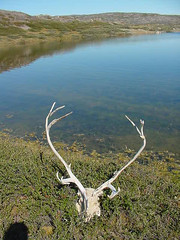 Reindeer skull by lake
