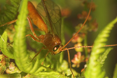 "Ichneumons Wasp(1) • <a style=""font-size:0.8em;"" href=""http://www.flickr.com/photos/57024565@N00/513572509/"" target=""_blank"">View on Flickr</a>"