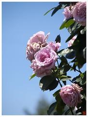 Rose 070520 #32