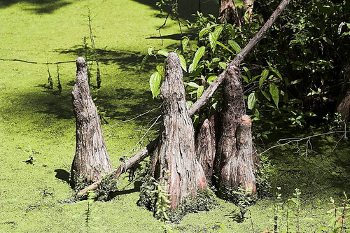 Close-up of Cypress Knees