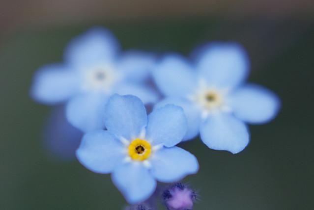 【色別】勿忘草の花言葉の意味と由来|青/白/紫