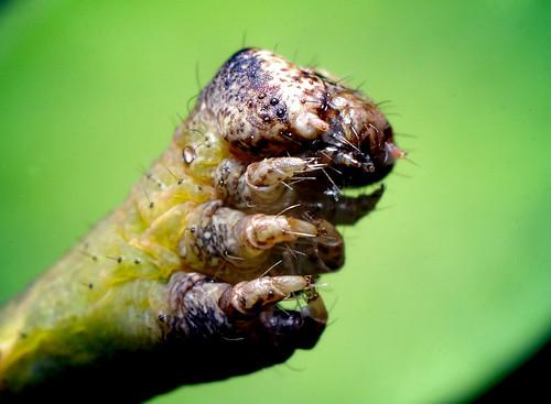 Caterpillar Face by Thomas Shahan.