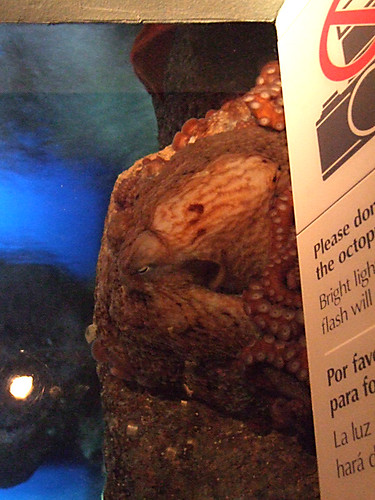 Octopus at Monterey Bay Aquarium