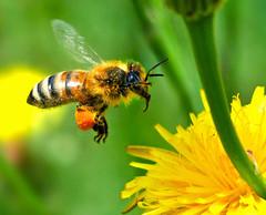 European Honey Bee Touching Down