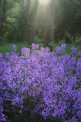 Purple (mindphotos) Tags: purple flowers lightfall forest park nature spring summer