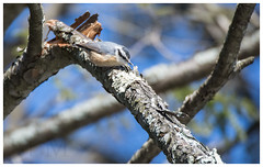Red-Breasted Nuthatch - Schuylkill County (PA) (J | M BIRDING) Tags: redbreastednuthatch owlcreekreservoir schuylkillcounty pennsylvania december 2016