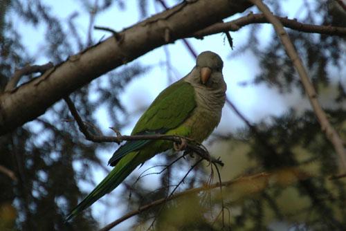 Solo Parrot