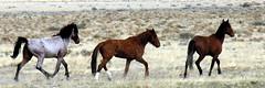 Strutting our Stuff (Pink Pepper Photo) Tags: wild horses easter nikon desert highdesert coolpix april wildhorses studs mustangs 2007 lovelocknevada nikoncoolpix nikoncoolpix8800 8800 wildmustangs nevafa stallionsj studherd
