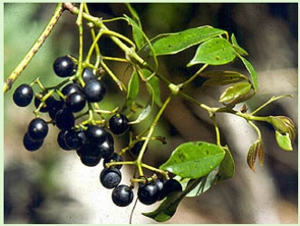 native grape