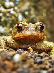 (\) .. (/) (rmi avec un i) Tags: cute animal eyes bravo searchthebest frog lovely bufobufo naturesfinest crapaud