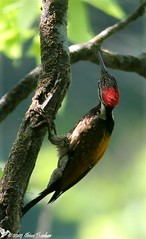 Black-rumped flameback woodpecker (shivanayak) Tags: india woodpecker shiva karnataka  shivanayak flameback blackrumped 2007 shivashankar blackrumpedflamebackwoodpecker