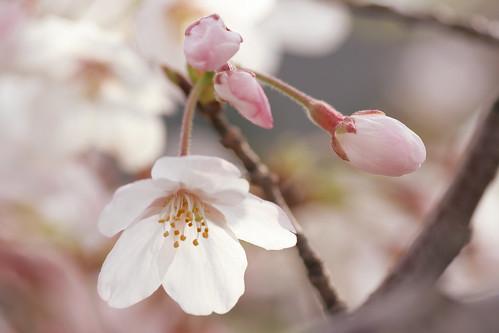 sakura in tokyo #2