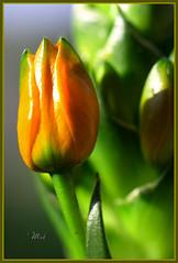 Ornithogalumarabicum (Maki_C30D) Tags: orangeflower buds ornithogalumdubium myfrontyard ornithogalumarabicum abigfave colorphotoaward orangeornithogalum