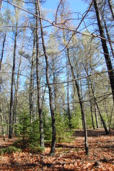 White spruce under jack pine, Brainerd MN. Click for a better view.