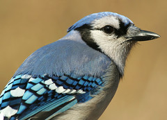 The Blue Jay Way (nature55) Tags: nature birds outdoors spring aves bluejay soe specanimal nature55 anawesomeshot impressedbeauty 228explorepages