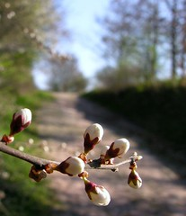 On my way to Poppenwind (Linda6769) Tags: tree germany way spring ast branch village blossom path thuringia twig bloom bud blte baum weg frhling blooming bloomingtree frhjahr zweig poppenwind blhend blhenderbaum treesinspring bumeimfrhling baumimfrhling