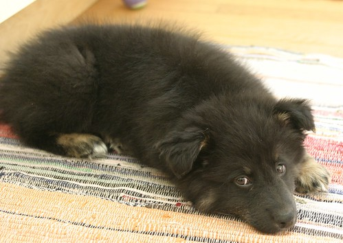 Sigo, 13 week old Australian Shepherd