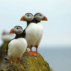 Double Header - Puffin Guardians (Magdalen Green Photography) Tags: blue three fife dundee scottish puffin puffins isleofmay rspb fraterculaarctica doubleheaded featheryfriday atlanticpuffins royalsocietyfortheprotectionofbirds