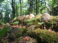 Knorriges Wurzelgeflecht (asthub) Tags: die nach wanderung ber happurg houbirg