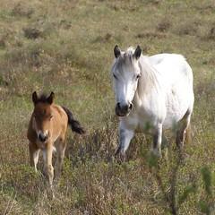 pony 49 (treehouse1977) Tags: horse nationalpark spring heather champion jim hampshire pony ponies newforest heathland gorse foal littlehorse matley matleybog cautionaryfruittale treehouse1977 jimchampion