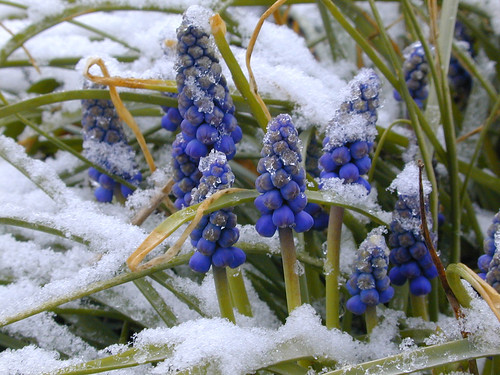Muscari on ice