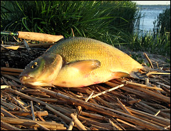 BEACHED BREAM (ESOX LUCIUS) Tags: fish holland fishing quality thenetherlands taco flyfishing bream haringvliet freshwater cyprinidae fishspecies fishbase brasem abramisbrama