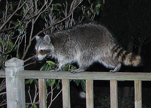 raccoon,the getaway