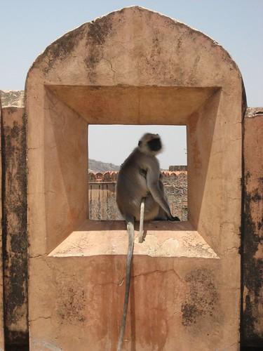 Monkeys at Jaigarh Fort