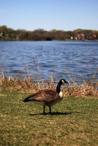 Goose 1831