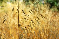 Wild Oat (David Lev) Tags: plants weeds nirim avenasterilis