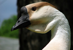 Goose Etc.. (Gigapic) Tags: portrait usa bird oregon unitedstates goose interestingness38 challengeyouwinner superhearts
