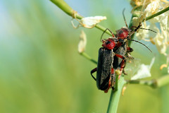 buggy outdoor sex (Ingo Kwiat | KWIAT.de) Tags: macro bug insects bugs mating naturesfinest outdoorsex efs60mmmacro colorphotoaward icopy